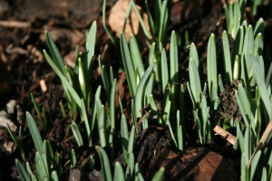 The first snowdrops are getting ready.