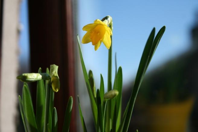 tiny daffodil