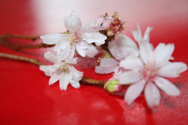 cherry tree blossom 003