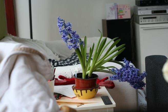 floppy hyacinth