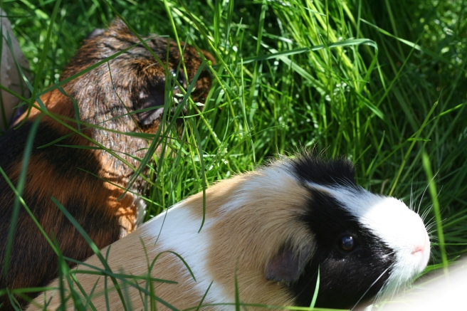 Guineas in the long long grass