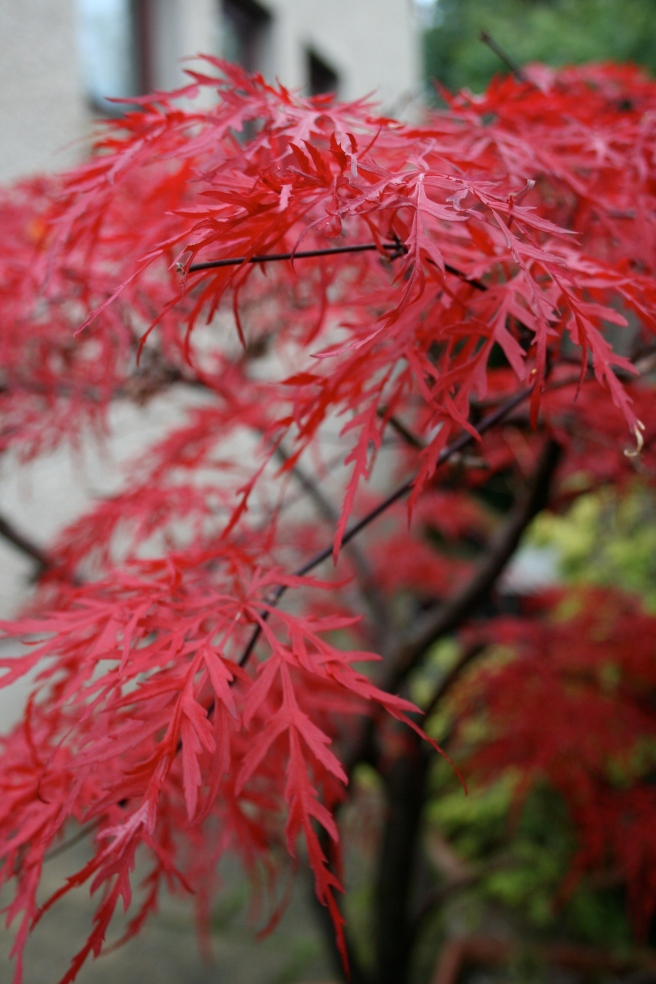 Japanese Maple or Acer