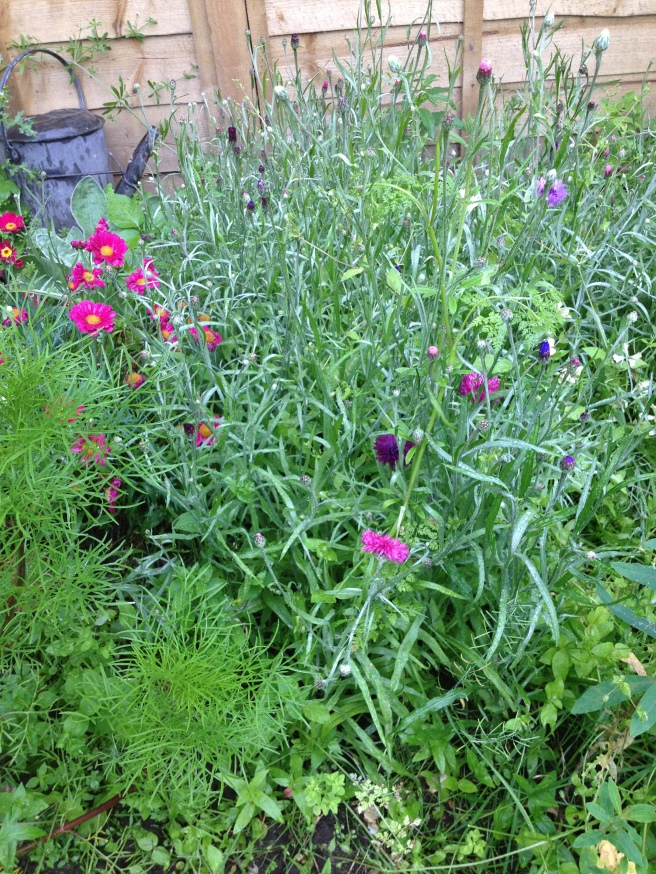 bloomin cornflowers - or nearly, I've chopped all the ones in bloom for the posy