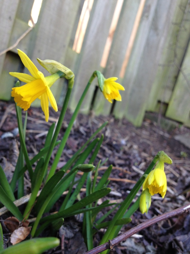 the first teeny tiny daffodils in Mum's garden
